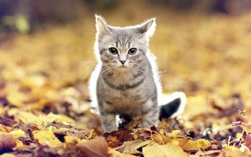 листья, мордочка, усы, кошка, взгляд, осень