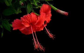background, petals, hibiscus