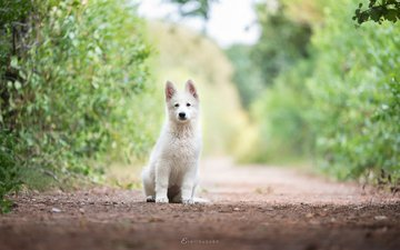 dog, puppy, the white swiss shepherd dog