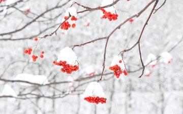 schnee, winter, makro, am, beeren, vogelbeerbaum