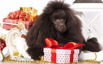 new year, gifts, dog, poodle