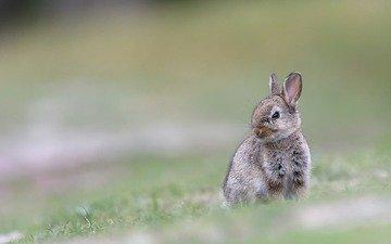трава, размытость, ушки, кролик, животное, заяц
