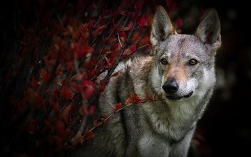 leaves, branches, look, autumn, dog, czechoslovakian wolf, the wolfdog, czechoslovak volchak