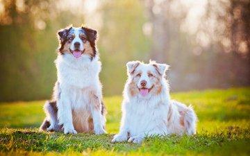 трава, взгляд, язык, собаки, мордочки, австралийская овчарка, аусси
