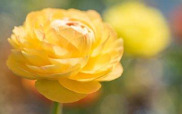 blume, rose, blütenblätter, unschärfe, gelbe rosen
