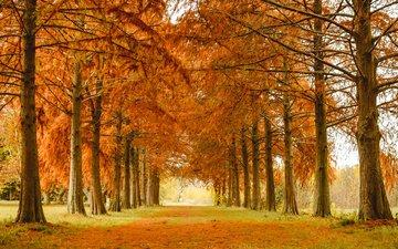 деревья, природа, парк, осень, аллея, лиственница