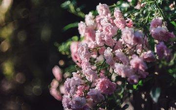 blumen, rosen, busch, bokeh