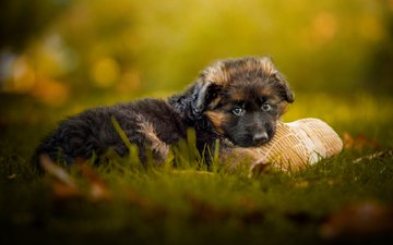 grass, muzzle, look, dog, puppy, german shepherd