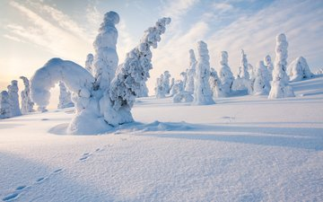 trees, snow, nature, forest, winter, traces, finland, steve dodkins