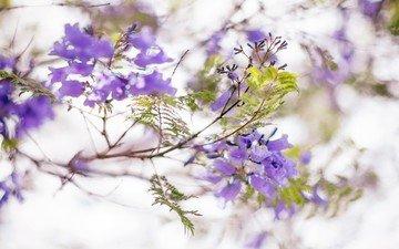 цветы, цветение, листья, ветки, весна, соцветия, жакаранда