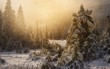 trees, snow, nature, forest, winter, fog