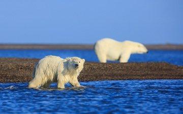 медведи, аляска, арктика, белые медведи, david swindler