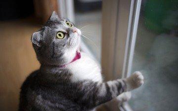 кот, мордочка, усы, кошка, взгляд, окно, вислоухая