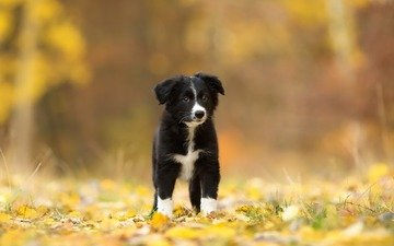 leaves, look, autumn, dog, puppy, each, the border collie