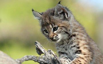 рысь, мордочка, взгляд, котенок, детеныш