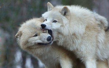 хищник, волки, арктический волк, белый волк
