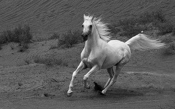лошадь, чёрно-белое, конь, грива, бег