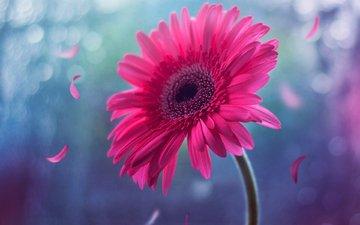 цветок, лепестки, розовый, стебель, боке, гербера