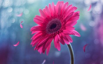 blume, blütenblätter, rosa, stiel, bokeh, gerbera