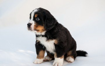 muzzle, look, dog, puppy, bernese mountain dog