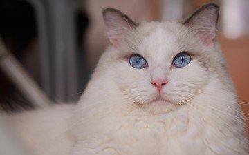 кот, мордочка, усы, кошка, взгляд, голубые глаза, рэгдолл