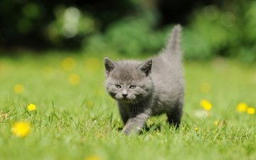 цветы, трава, кот, мордочка, усы, кошка, взгляд, котенок, одуванчики