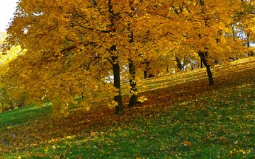 trees, nature, park, foliage, autumn, yellow leaves