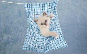 фон, кот, мордочка, усы, кошка, взгляд, котенок, сиамский, милый
