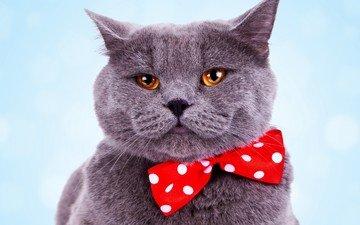 кот, мордочка, усы, кошка, взгляд, бабочка, британец, желтые глаза