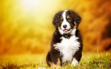 dog, puppy, bernese mountain dog