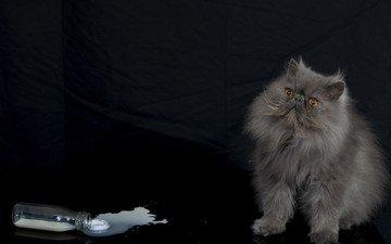 кот, мордочка, усы, кошка, взгляд, черный фон, молоко, персидская