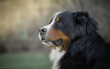 maulkorb, blick, hund, berner sennenhund, gordon rufh