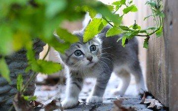 листья, кот, мордочка, усы, кошка, взгляд, котенок