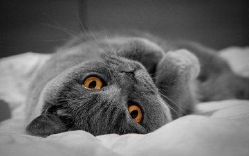 кот, мордочка, усы, кошка, взгляд, британец, желтые глаза