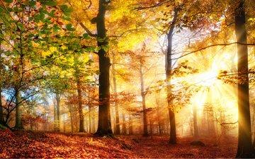 trees, the sun, nature, forest, rays, autumn, sunlight, smileus