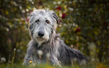 augen, natur, blick, hund, irischer wolfshund
