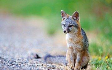 хищник, лисица, хвост, койот