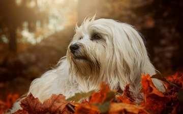 leaves, muzzle, look, autumn, dog, the havanese, bichon