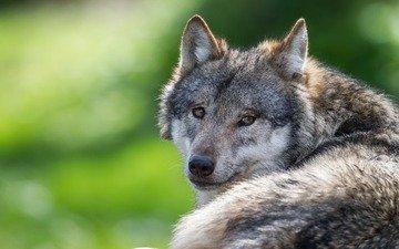 глаза, взгляд, хищник, волк
