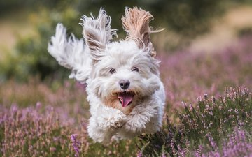 flowers, muzzle, look, dog, running, the west highland white terrier, beate schmidt