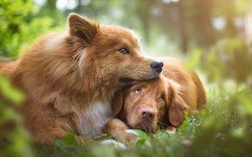 hunde, golden retriever, евразиер, birgit chytracek
