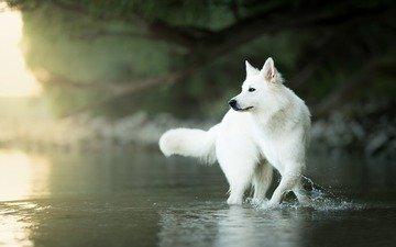 вода, мордочка, взгляд, собака, боке, белая швейцарская овчарка