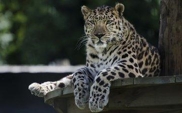 leopard, raubtier, eine große katze