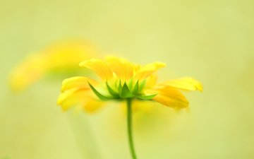 цветы, лепестки, желтые, боке
