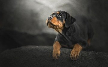 muzzle, look, dog, puppy, rottweiler