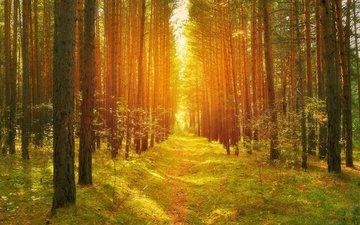 деревья, солнце, природа, лес, стволы, осень, тропинка