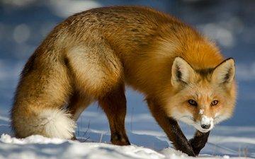 снег, зима, мордочка, взгляд, лиса, лисица, хвост