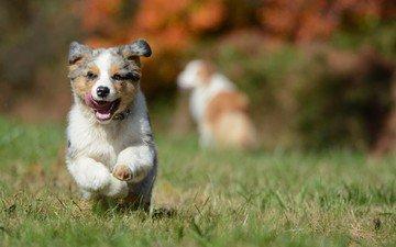 собака, щенок, австралийская овчарка, аусси