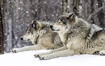 snow, forest, winter, predators, wolves