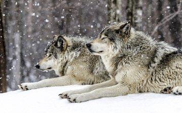 снег, лес, зима, хищники, волки